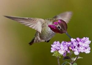 anna-hummingbird